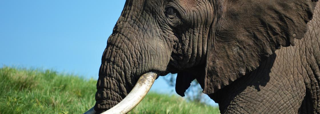Bull elephant I encountered on the rim of the Ngorongoro Crater in Tanzania in 2016