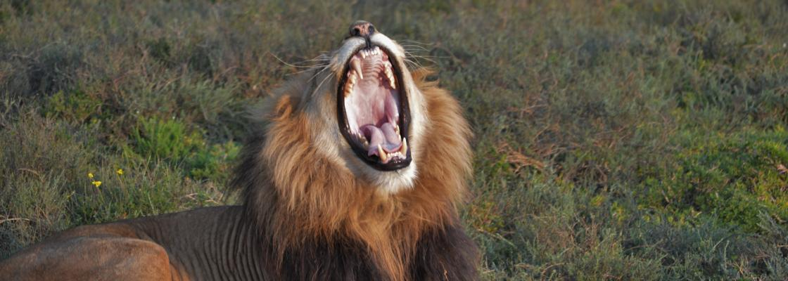 Adult male lion with a radio collar at Addo Elephant National Park in South Africa