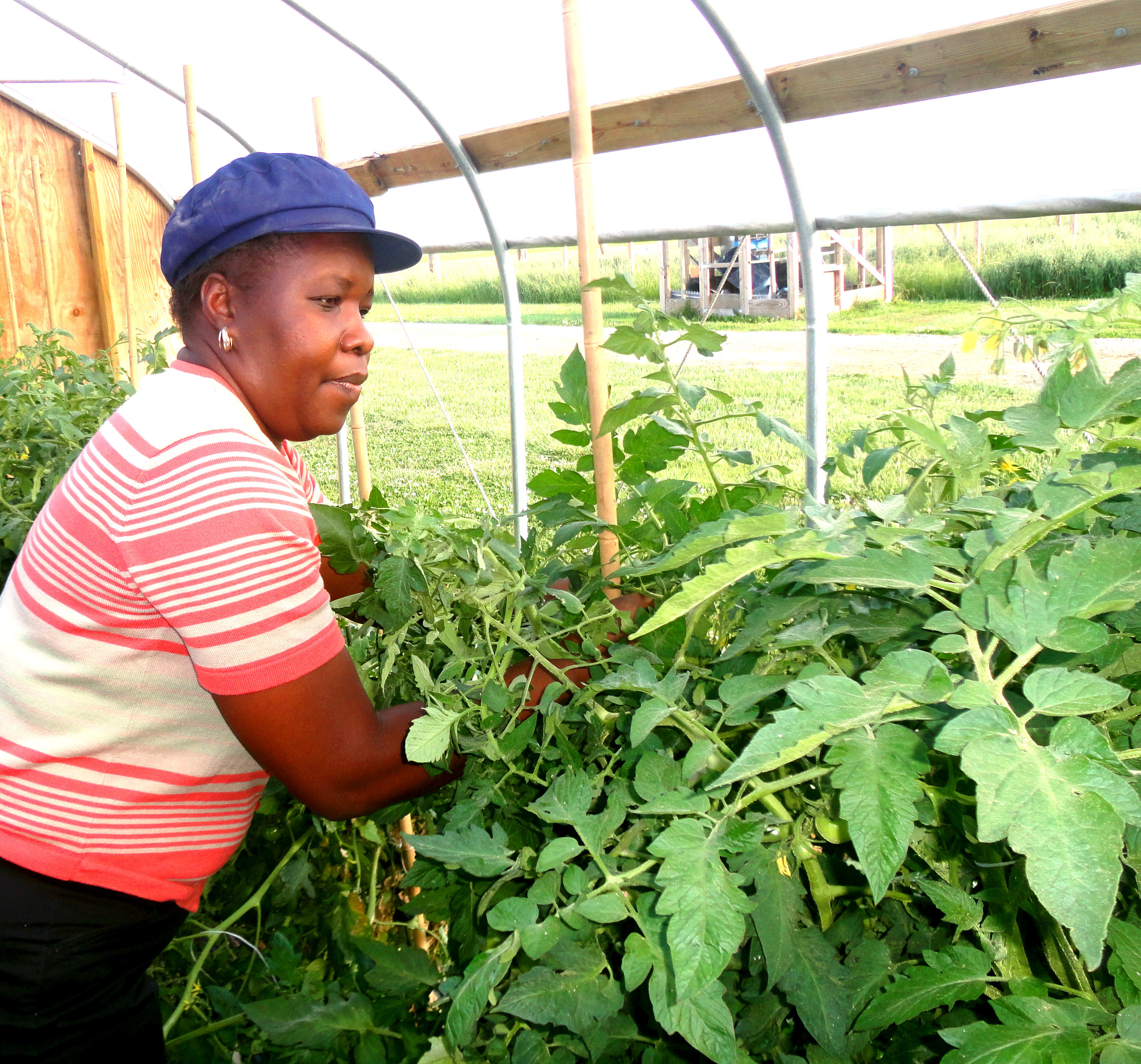 Dr. Rose Ogutu tends tomatoes in high tunnel at DSU Outreach and Research Center.