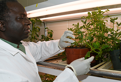 Dr. Vincent Fondong, associate professor of biological sciences, checks the plants he is using in the Potato Virus Y research.