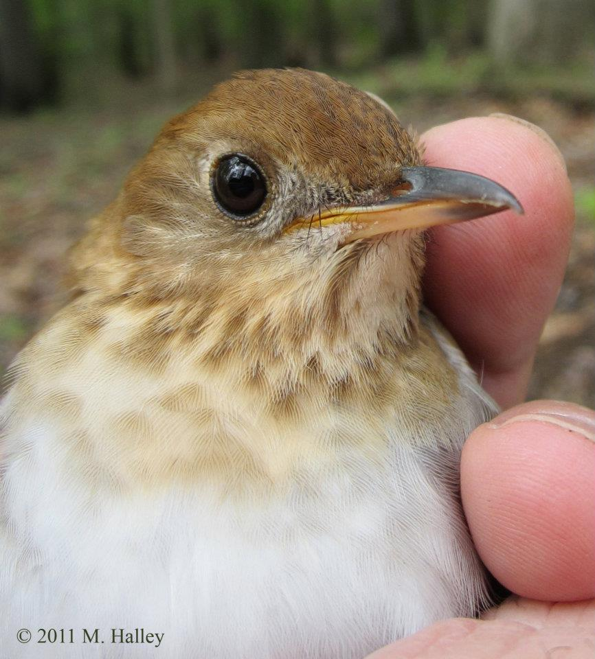 A Veery songbird.