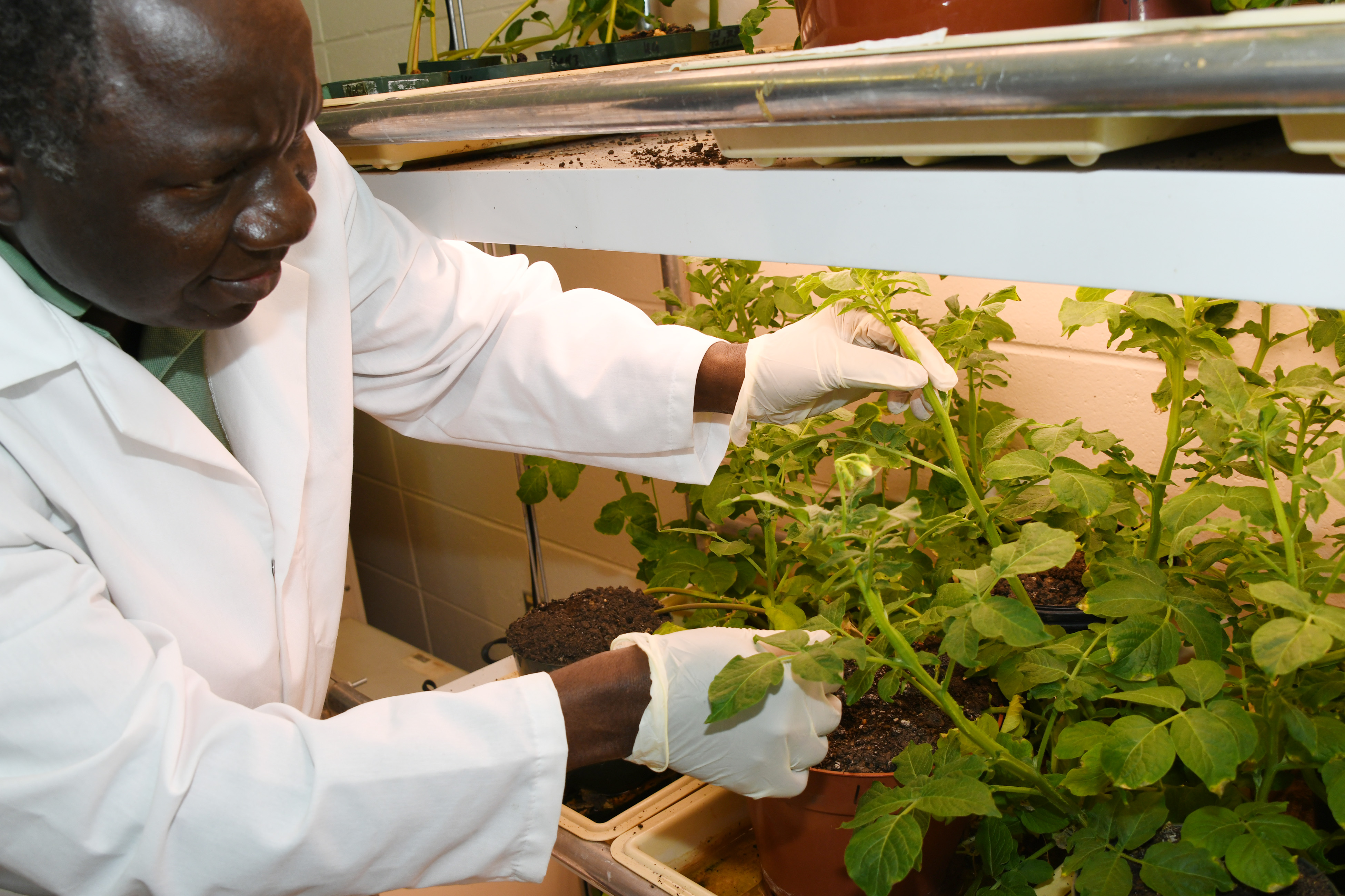 Dr. Vincent Fondong. professor of biological sciences, shown here tending to his research plants, has been awarded a four-year $1.1 million research grant from the National Institute of Food and Agriculture (NIFA). His research will target a virus that reduces potato yields and lowers their quality.