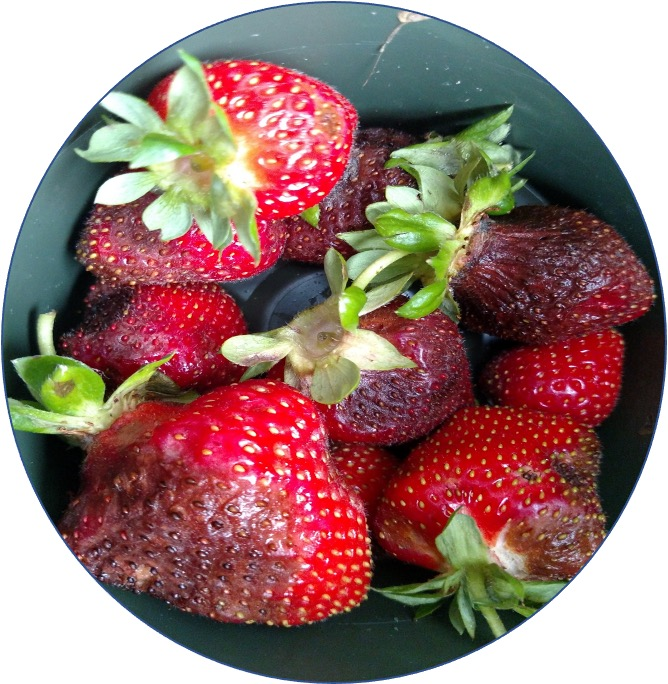 Some of these strawberries are afflicted with gray mold fungus.